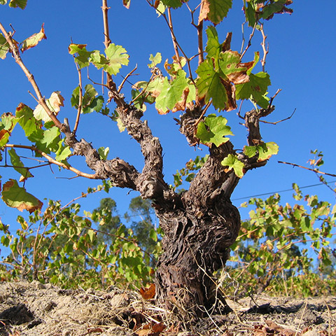 Palladius Old Vines