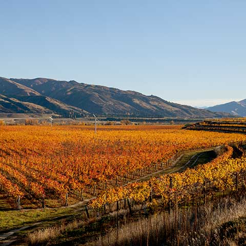 Herbstlicher Weinberg in Central Otago